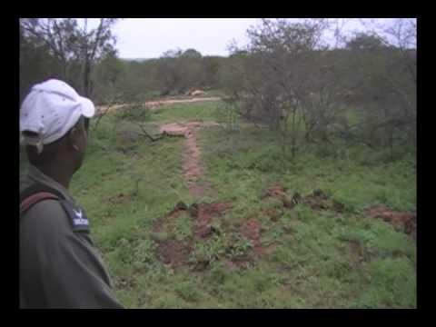 Kruger Park Morning Walk - 2 Big Male Lions