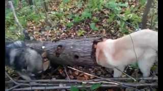 видео Охота на хоря