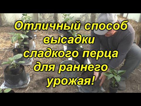 """""""Хитрый"""" способ посадки сладкого перца! Вы ещё ТАК не пробовали?!(проверено!!!)"""