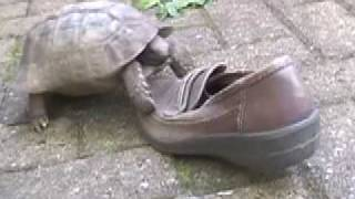 TORTOISE IN LOVE WITH SHOE