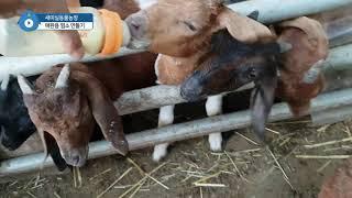 새미실동물농장 애완용 염소 만들기