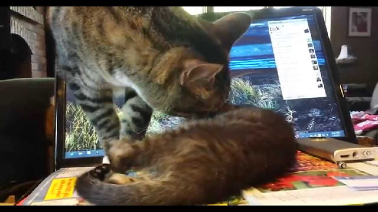 How to Get a Sick Kitten to Eat pics