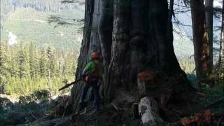 Falling Big Red Cedar