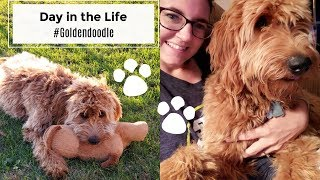 Goldendoodle Puppy 8 months old