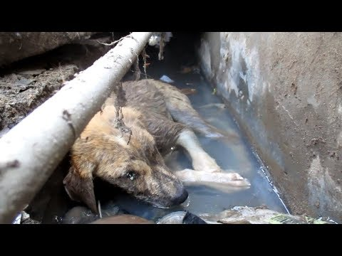 puppy-with-head-injury-dying-in-gutter-rescued