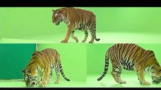 Tiger green screen package hd vfx video just download no Copyright