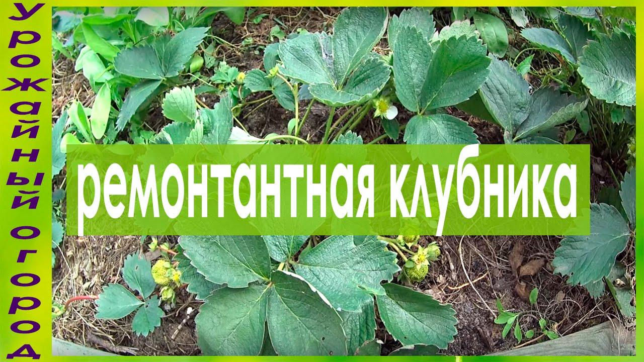 14 апр 2017. Нашатырный спирт применяют в качестве удобрения и средства для борьбы с вредителями в саду или огороде. В зависимости от.