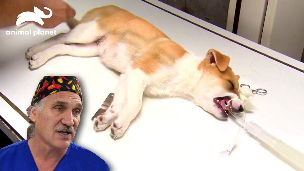 【アメリカの獣医さん】骨折した生後8週間の子犬 | デンバー動物クリニックS2