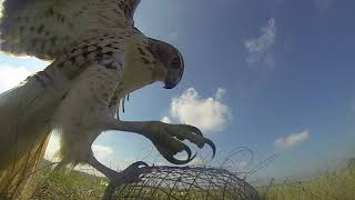 Falconry Trapping 2018