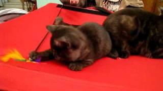 Британцы на выставке кошек в г. Краматорске