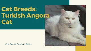 Turkish angora Slides Cat Breeds