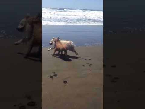 Copper playing in the ocean