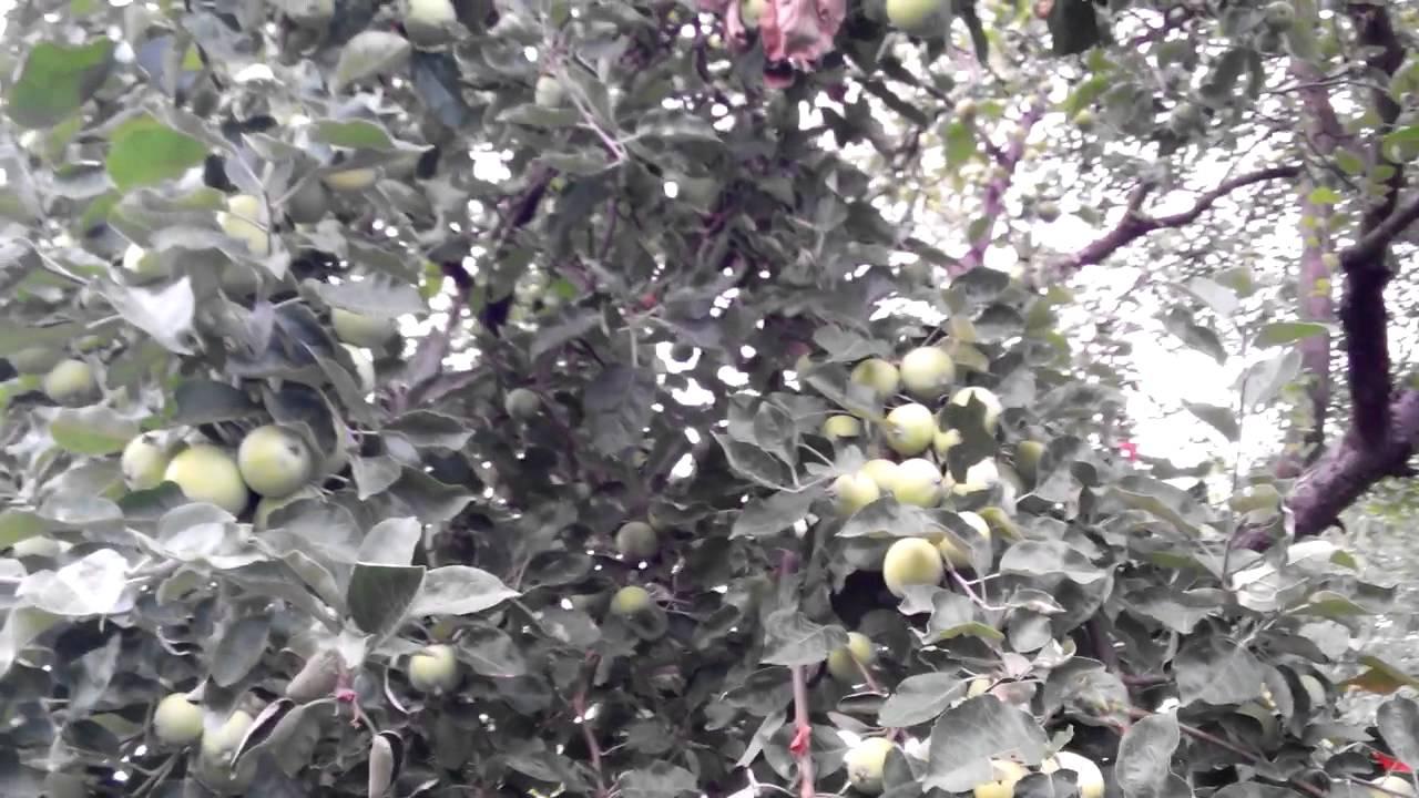 фото яблоня белый налив