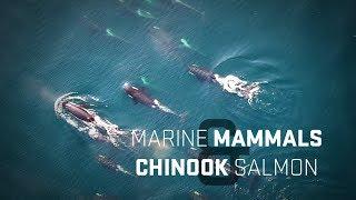 Chinook Salmon and Marine Mammals