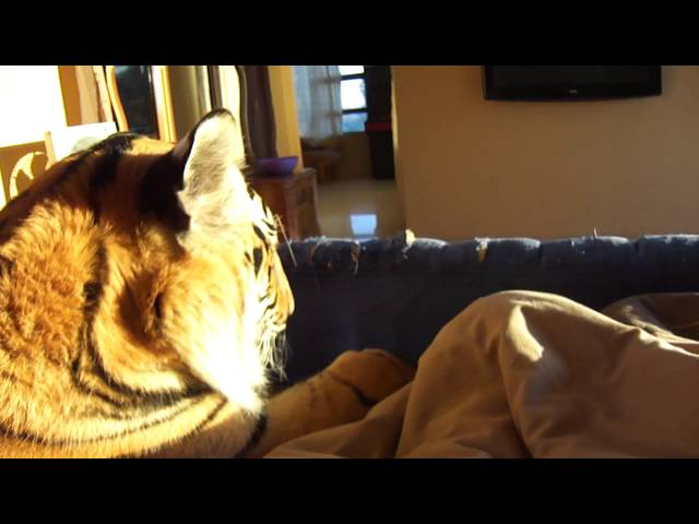 waking up with enzo the tiger