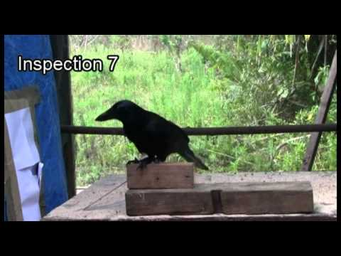 13 Strange Reasons Why Crows And Ravens Are Definitely The Smartest Birds, Hands Down