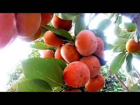 Kaki or Persimmon Fruits tree