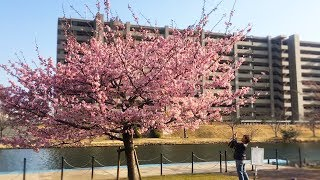 Минус цветения сакуры в Японии. Когда цветет сакура в Японии. Сакура в феврале