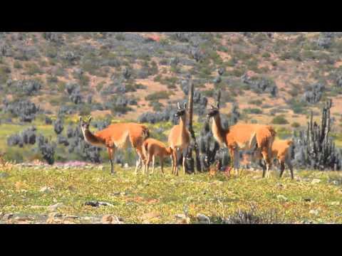 MVI 4106 Lama guanicoe