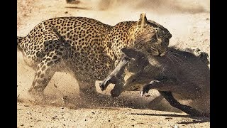 Leopard attacks warthog and escapes from lions on tree
