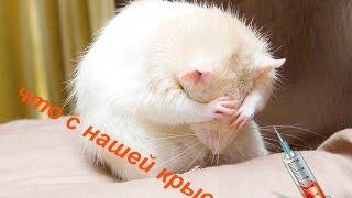 видео Как следить за здоровьем домашней крысы?