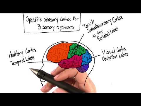 Sensory systems of the brain - Intro to Psychology
