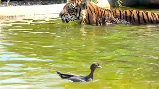 Ozzy Man Reviews: Duck vs Tiger