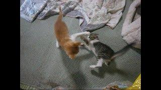 元野良子猫(リョウ) VS  茶トラ子猫(スーマ)どっちが強い? Kittens of wrestling【いなか猫1875】japanese funny cat