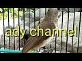 Suara Pikat Burung Trucukan Mantep Anti Zonk  Mp3 - Mp4 Download