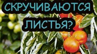 Почему скручиваются листья томатов(, 2017-01-23T15:54:37.000Z)