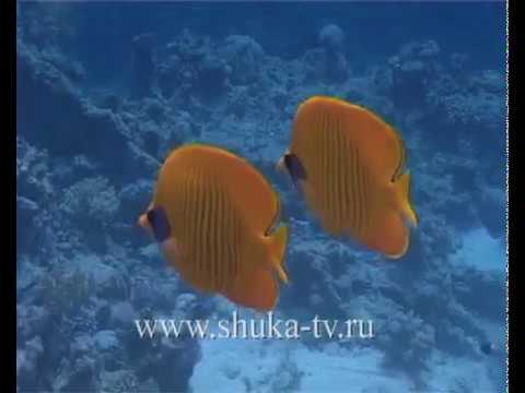 Рыбы бабочки Красного моря Butterflies Fish Red Sea