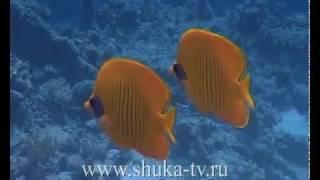 Рыбы бабочки Красного моря Butterflies Fish Red Sea(Яркие рыбы тропических морей., 2009-01-28T18:57:11.000Z)