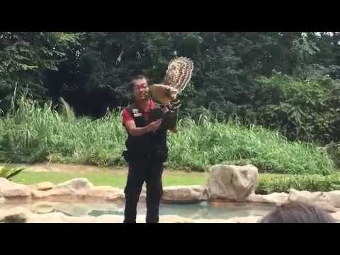 Live Raptor show in Singapore  Jurong Bird Park🦅🦅🦅🦅🦅🦅