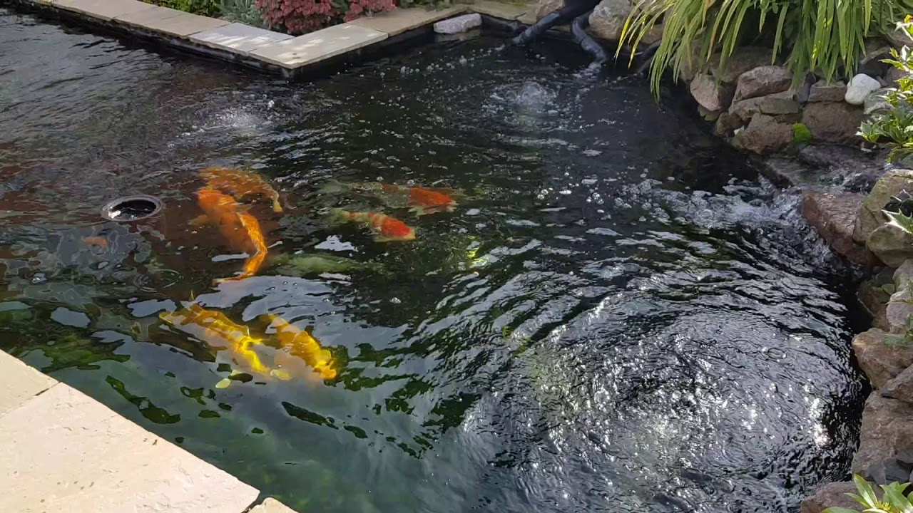 Koi Pond And Eazi Pod Filtration System With Homemade Bakki Shower Sept 2017