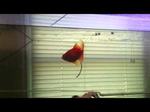 Long Goldfish Poop Random