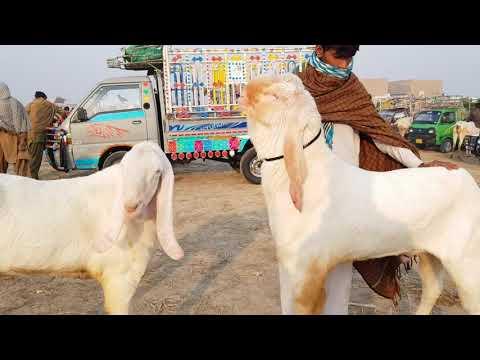 Bakra Mandi Pakistan 03496789033)(2019)(2)(11)Rajan Puri