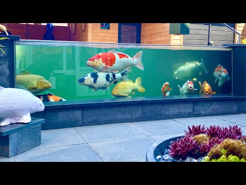 9000 Gallon Fish Pond, AMAZING Koi Collection! *TOP Garden designs