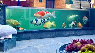 9000 Gallon Fish Pond, AMAZING Koi Collection! *TOP Garden Designs