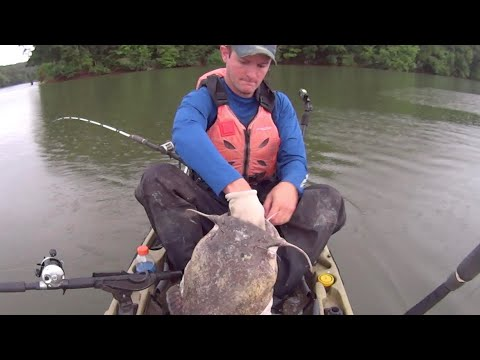 BIG Flathead Catfish Caught While Kayak Fishing