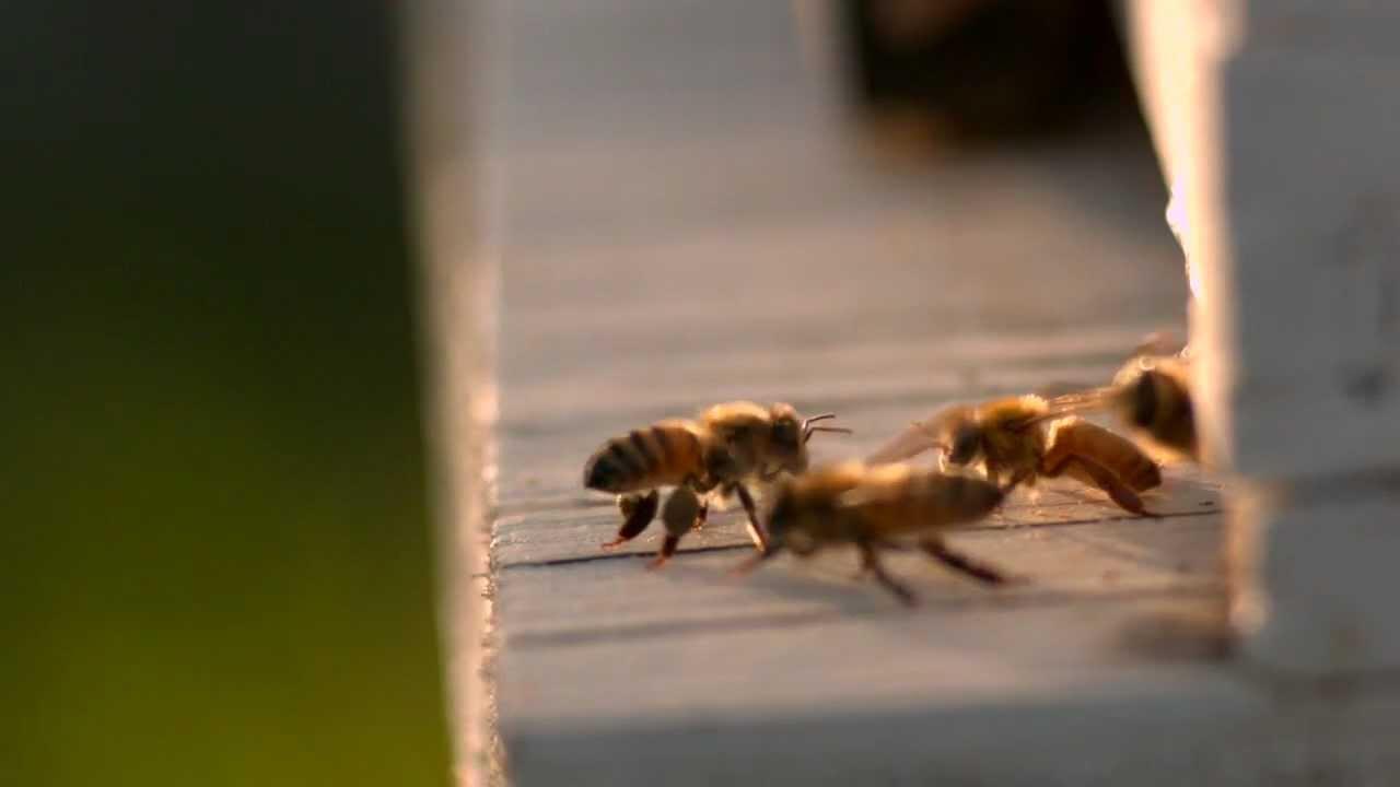 Ilmuwan Ajarkan Lebah Cara Menggunakan Bahasa Angka, Mereka Mengerti