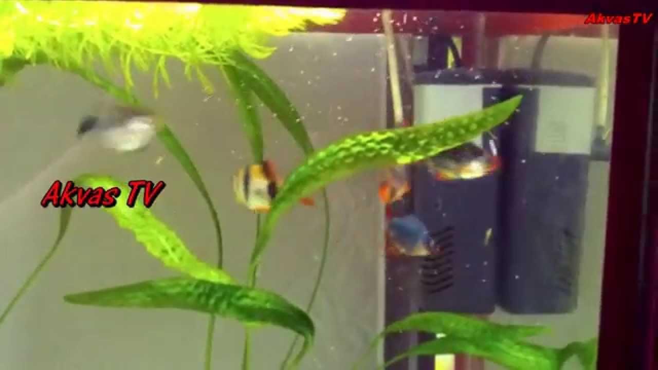 карпоед или рыбья вошь фото
