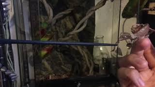 エダハヘラオヤモリに餌をやりたい動画