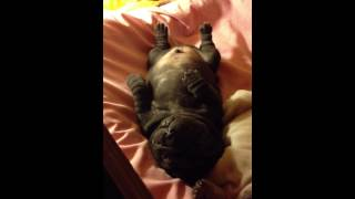 Sharpei Puppy Stuck On His Back