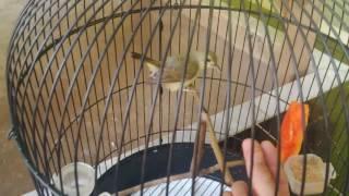 Kolibri kelapa wadon brayyy...