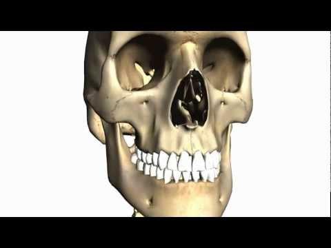 Foramina of the Skull and Cranial Fossae - Anatomy Tutorial PART 1