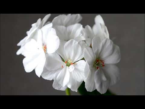 Цветение пеларгонии. Обрезка герани для пышного цветения