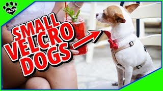 Small Velcro Dog Breeds  10 Affectionate Small Dogs