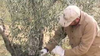 Olive tree pruning 101