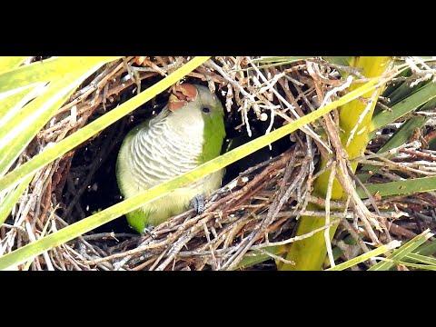 Wild Quaker Parrots