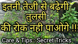 इतनी बढ़ेगी तुलसी की रोक नही पाओगे || Tulsi Plant - Care & Tips || Flora Nurture